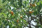 Orchard for sell in