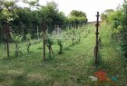 Hop field, vinery for sell in Levice